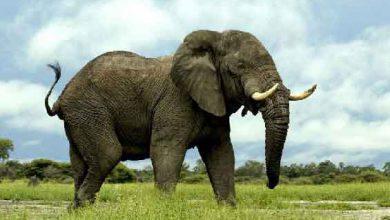 انشا انگلیسی در مورد حیوان فیل + ترجمه